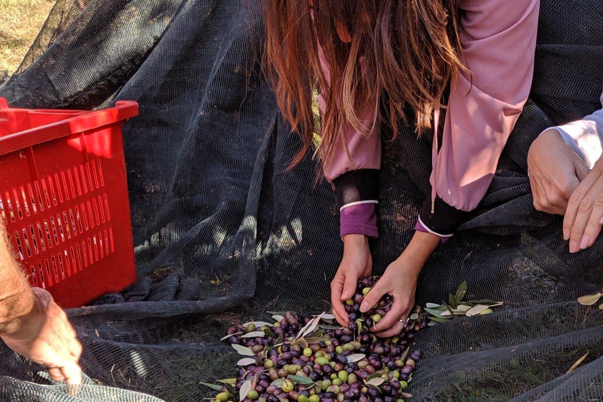 event-La Raccolta dell'Oliva: Tradizioni e Degustazioni Toscane